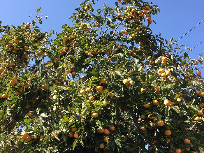 豊作 2016年 パワースポット 柿の木 2
