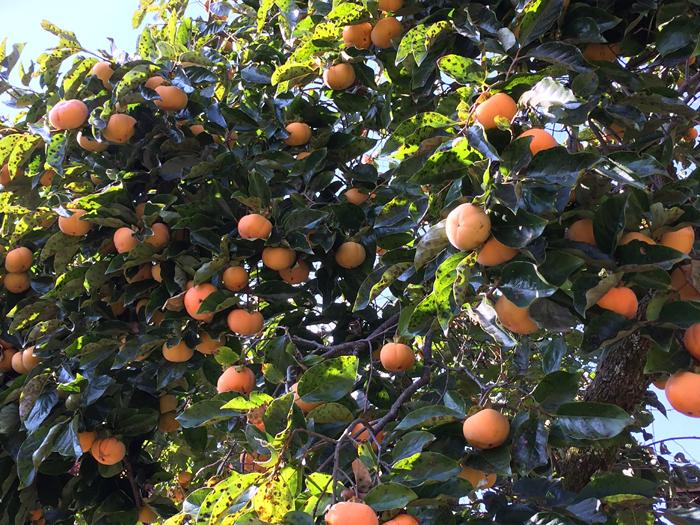 豊作 2016年 パワースポット 柿の木 3