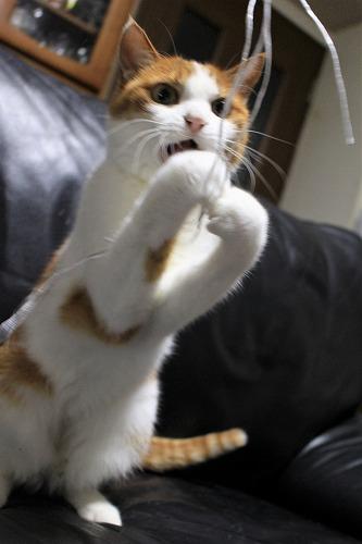 ブログNo.814(夢中になると立つ猫)10