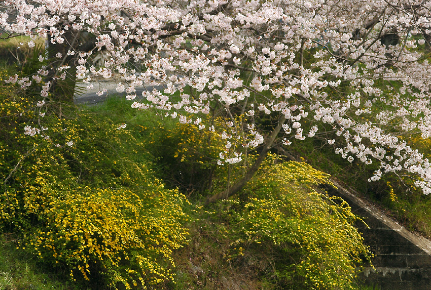 桜と山吹01