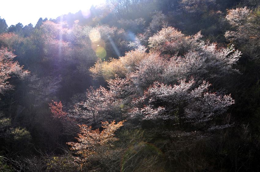佐々里峠(桜)04