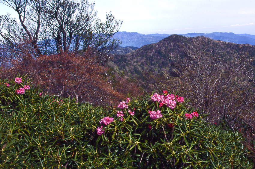 春の大台-石楠花01