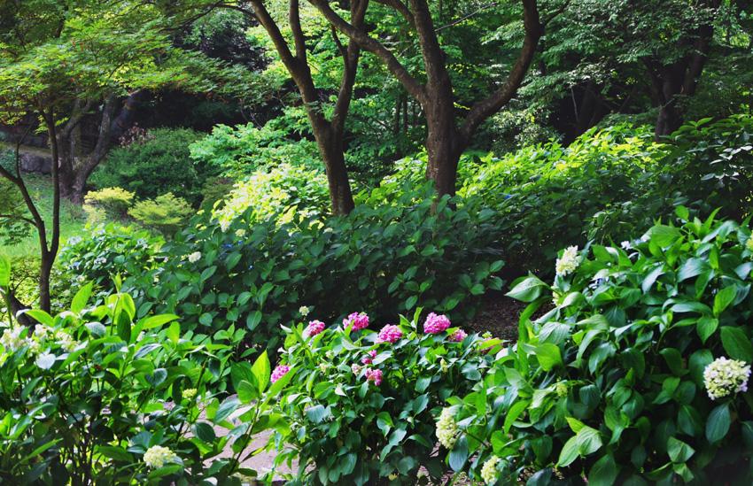 アジサイ(山田池公園)01
