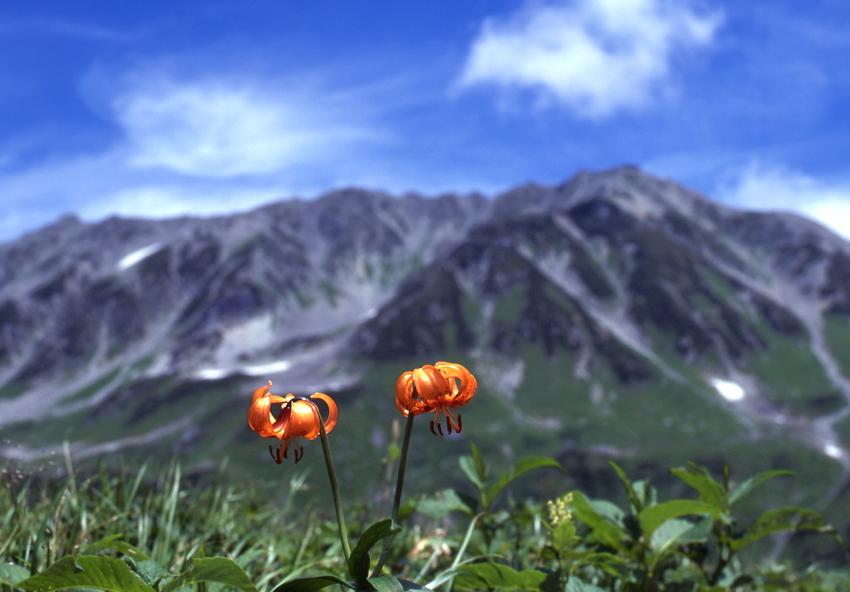 クルマユリ(立山)01