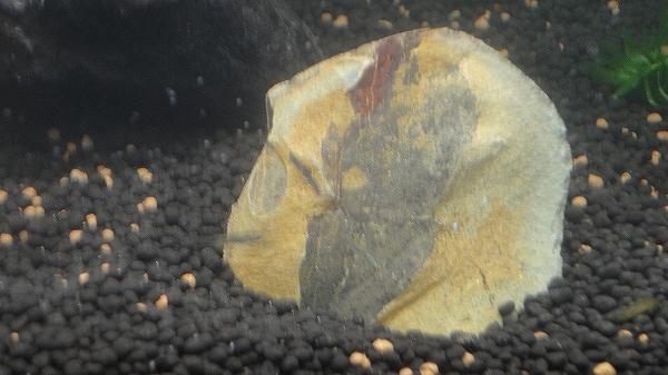 亡き父と採集した葉っぱの化石です。