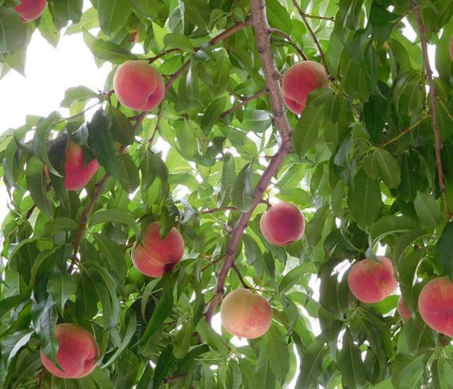 桃、採れています
