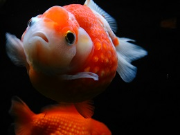 DSC_0391海洋公園金魚