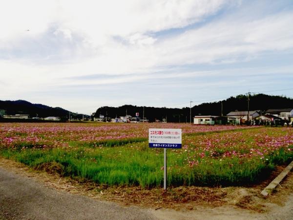 コスモス畑02