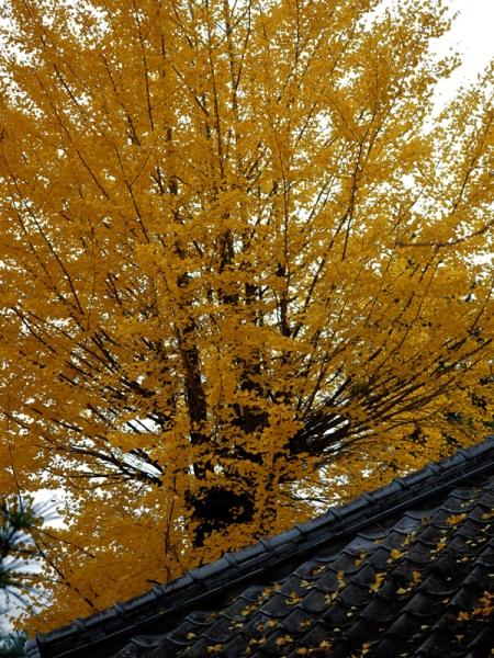 庫裏の黄葉