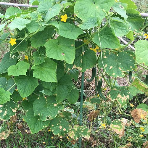 10月に採れる秋野菜 ~秋キュウリがおすすめ~①