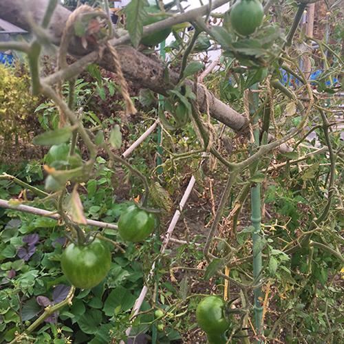 10月に採れる秋野菜 ~秋キュウリがおすすめ~⑥
