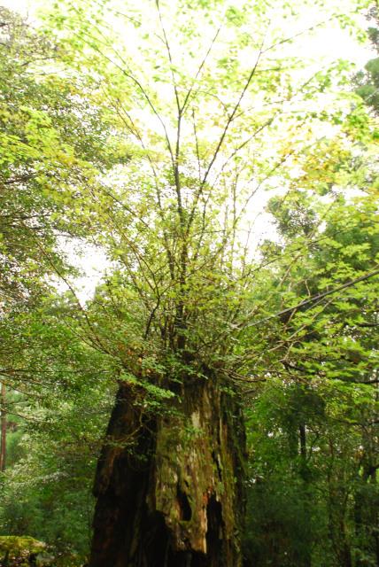 屋久島_荒川から縄文杉へ_屋久杉の切株の上に新しく伸びた苗木