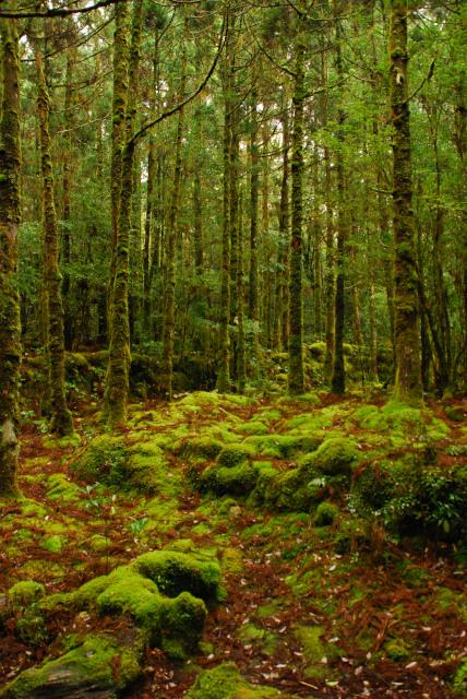 屋久島_荒川から縄文杉への登山道_苔むした森