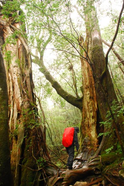 屋久島_険しさを増す縄文杉への登山道