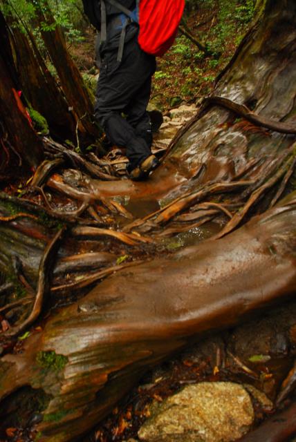 屋久島_縄文杉への登山道_雨で滑りやすい木の根
