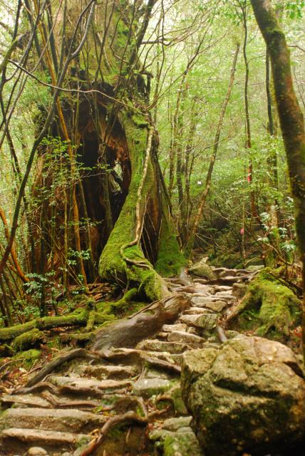 屋久島_縄文杉への登山道