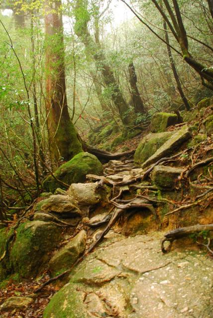 屋久島_縄文杉への本格的な登山道