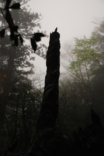 屋久島_縄文杉への登山道_翁杉