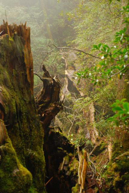 屋久島_縄文杉への登山道_翁杉の倒木