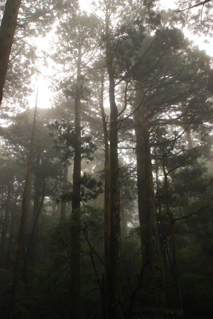 屋久島_縄文杉への登山道_雨の森