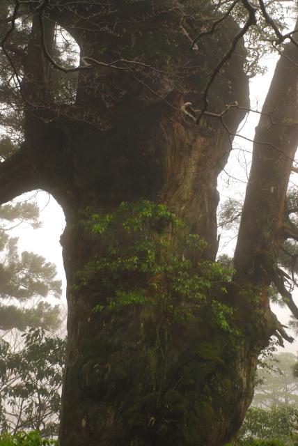 屋久島_縄文杉への登山道_巨大杉の上に生える樹