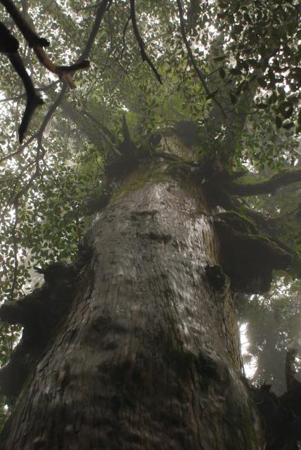 屋久島_縄文杉への登山道_大木を見上げる_放射状に広がる枝