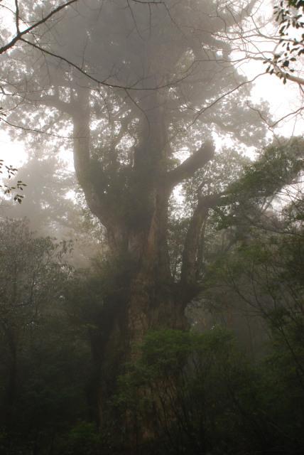 屋久島_縄文杉への登山道_霧の奥に縄文杉のシルエット