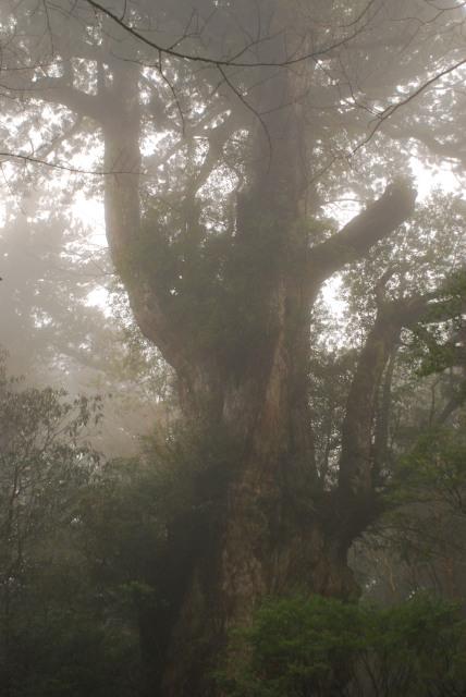 縄文杉の全体