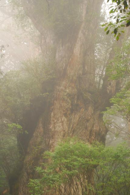 縄文杉のアップ