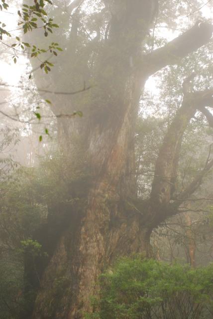 霧のなかの縄文杉