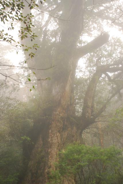 霧に差し込む日差しと縄文杉
