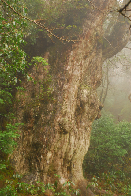 縄文杉の幹_木肌のアップ