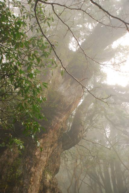 縄文杉の巨大な枝