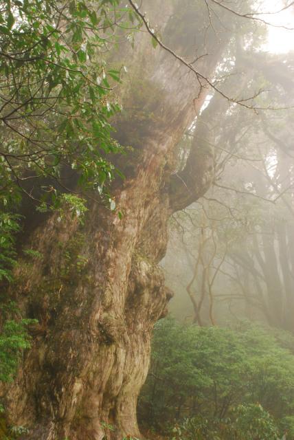 雨のなか佇む縄文杉