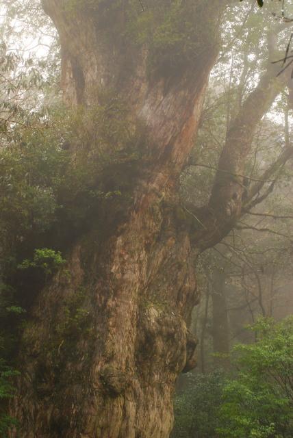 霧の中の縄文杉