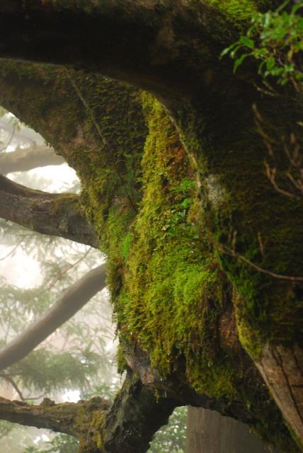 コケむした樹の幹