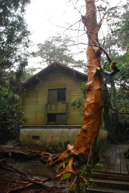 新高塚小屋の外観_雨に濡れたヒメシャラ