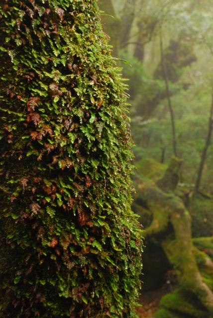 辻峠への登山道_大きな岩棚の下で雨宿り_樹の幹に密生したシノブゴケ_雨のしずく