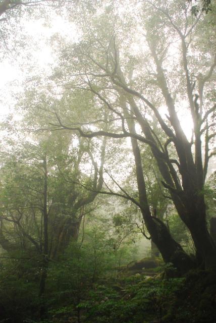 白谷雲水峡_輝く霧に包まれた森