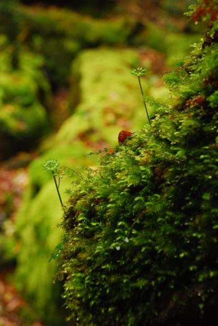 白谷雲水峡_コケの上に生える木の芽