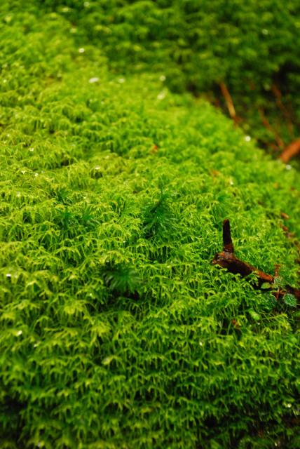 白谷雲水峡_雨に濡れた鮮やかな緑のコケ