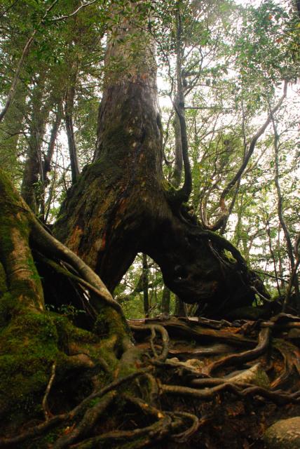 屋久杉の木の根の下を通る登山道