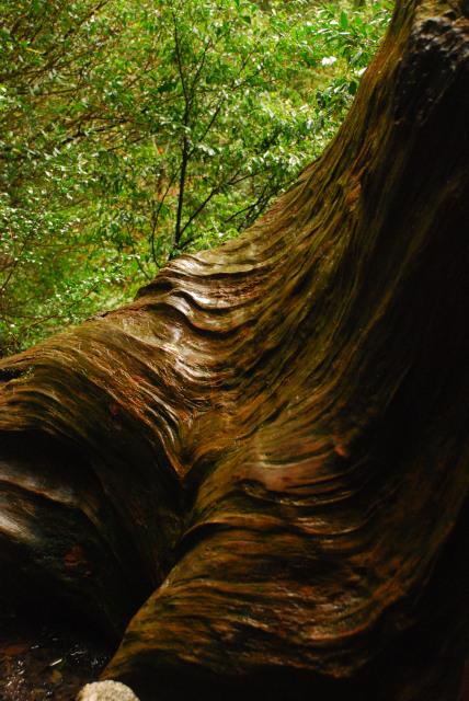 美しい屋久杉の木肌