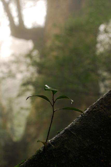 屋久島_縄文杉への登山道_倒木に芽生える新しい命