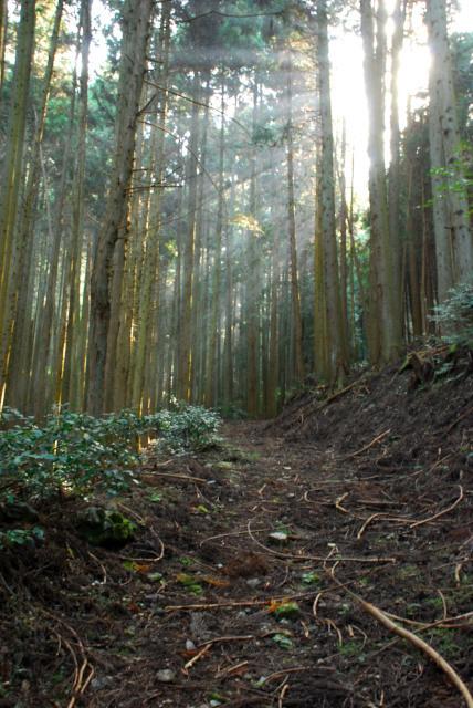 三岳登山道_スギの森
