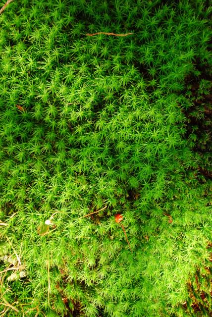 三岳登山道_鮮緑のスギゴケ