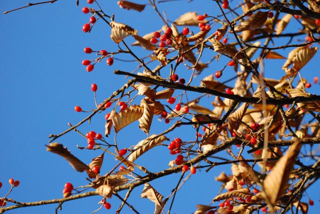 三岳_西ヶ嶽_枯葉と赤い実