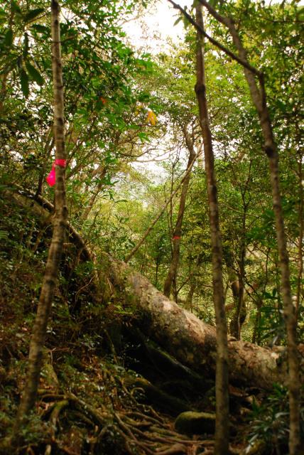 モッチョム岳_登山道_万代杉_万代杉の巨大な根が道を横切っている