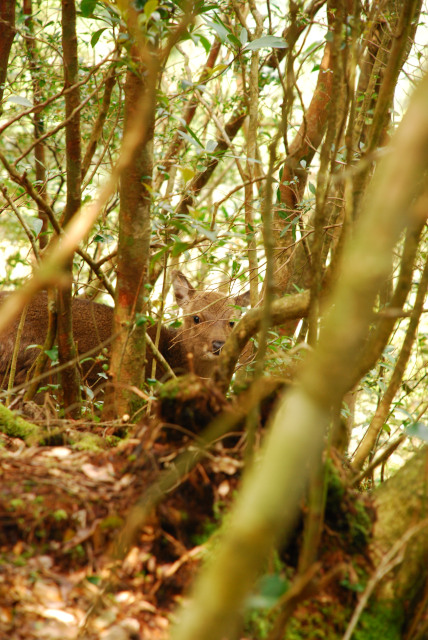 モッチョム岳_登山道_樹々の間から顔をのぞかせる鹿