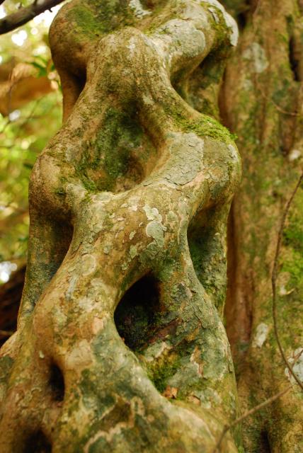 モッチョム岳_登山道_網目状に溶け合ったように見える樹の幹